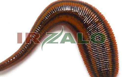 خرید روغن زالو در ایران / ایران زالو دات کام