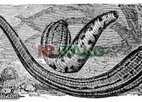خریدار روغن زالو در قم