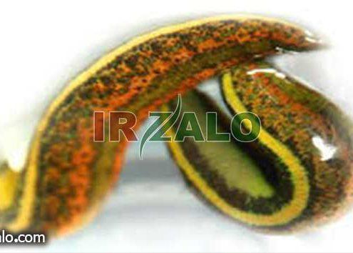 شرایط نگهداری زالو در خانه