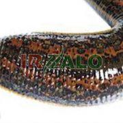 تصویر پرورش و نگهداری زالو